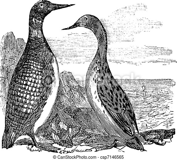 Great Northern Loon or Great Northern Diver or Common Loon or Gavia immer, vintage engraving - csp7146565