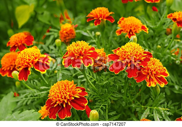 Fleur de parterre