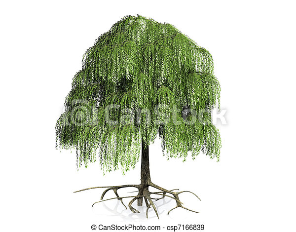 Wheeping willow with roots - csp7166839