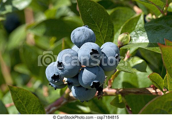 Blueberry on the tree - csp7184815