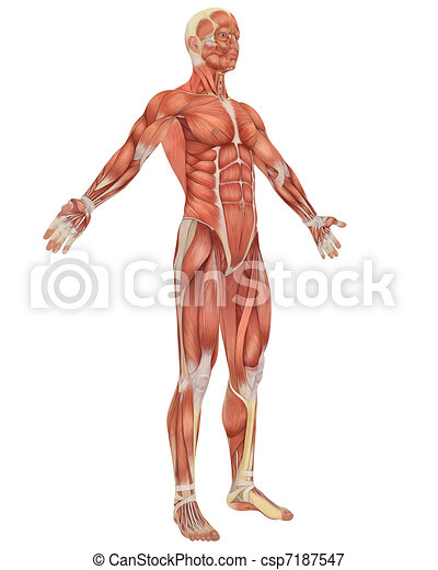Male Muscular Anatomy Angled Front View - csp7187547