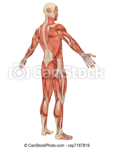Male Muscular Anatomy Angled Rear View - csp7187819