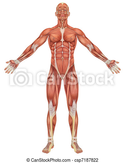 Male Muscular Anatomy Front View - csp7187822
