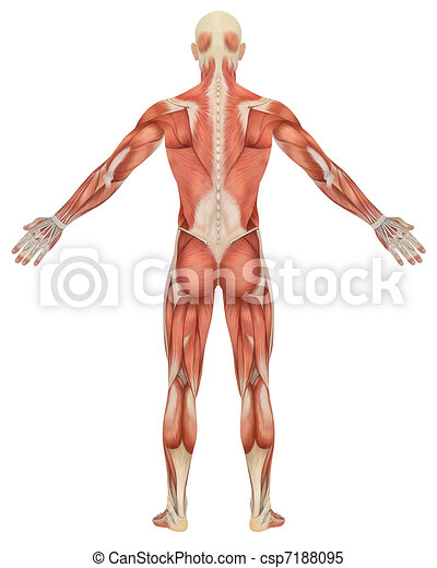 Male Muscular Anatomy Rear View - csp7188095
