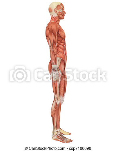 Male Muscular Anatomy Side View - csp7188098
