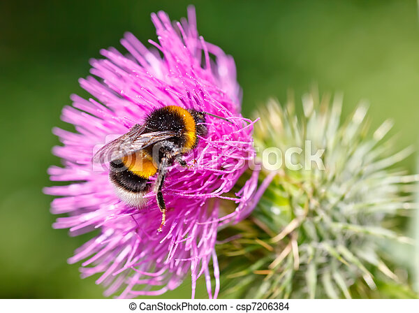 Bumble bee collecting pollen on pink flower - csp7206384