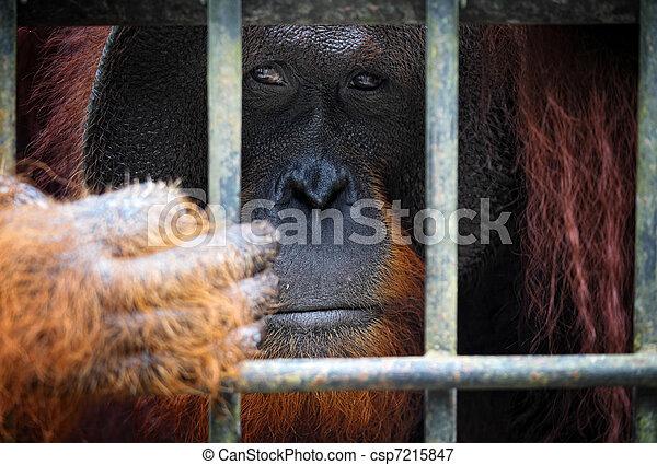 orangutang in cage - csp7215847