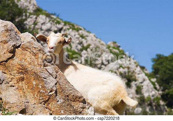 Goat in Picos de Europa, Asturias, Spain - csp7220218