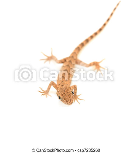 brown spotted gecko reptile isolated on white, view from above - csp7235260