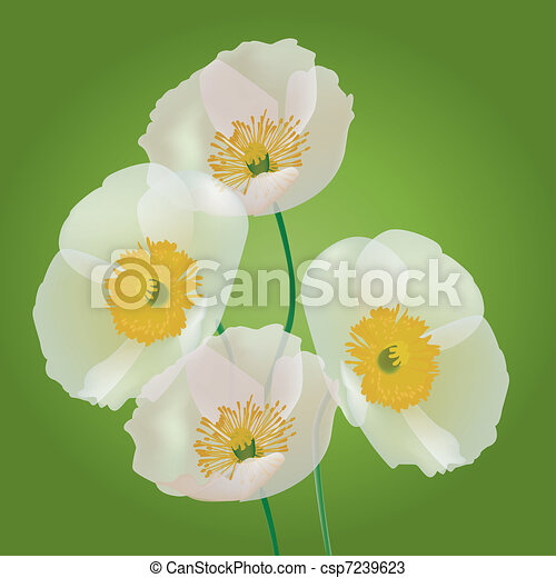 Row of poppy flowers isolated on gr - csp7239623