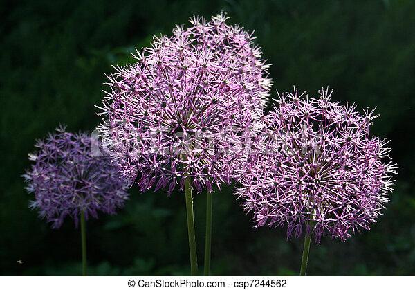 Allium flower - csp7244562