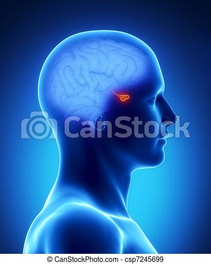 PITUARY - human brain part - csp7245699