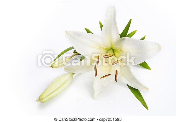 lily flower isolated on a white background - csp7251595