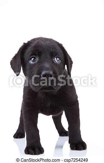 shy little labrador puppy - csp7254249