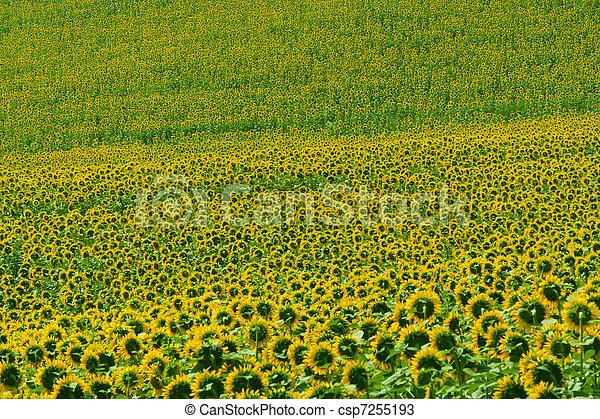 Marches (Italy) - Field of sunflowers near Jesi (Ancona) - csp7255193