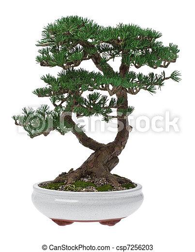 photos de arbre bonzaies - a, petit, arbre bonzaies, dans, a