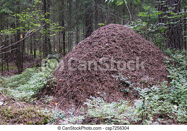 big anthill in the spruce forest  - csp7256304