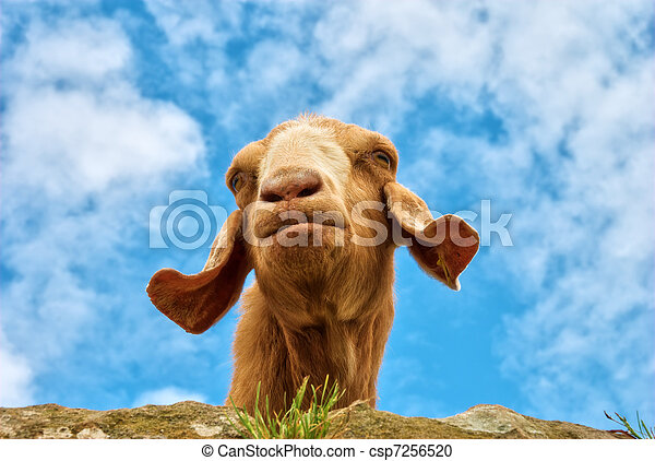 Humorous portrait of a goat - csp7256520