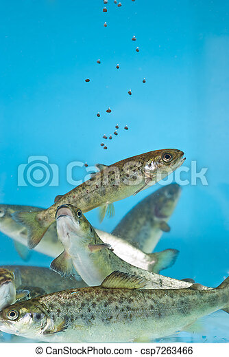 salmon swimming in aquarium - csp7263466