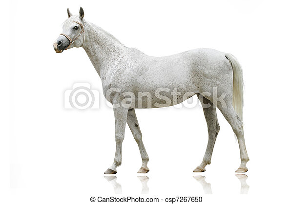 white arab horse isolated - csp7267650