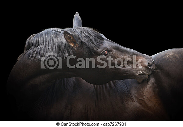 black purebred stallion - csp7267901