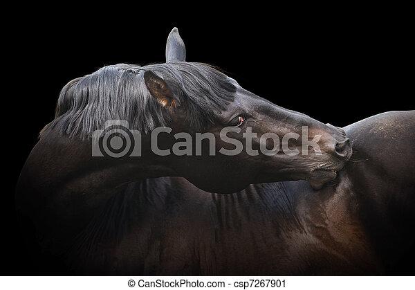 black purebred stallion - csp7267901