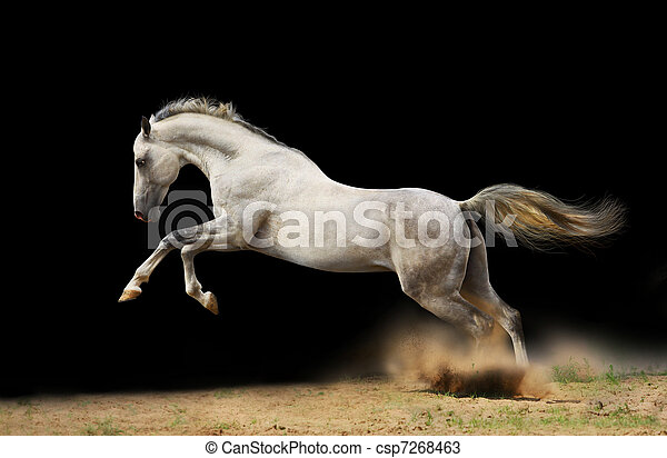 silver-white stallion on black - csp7268463