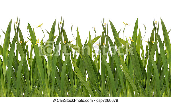 green grass with yellow flower Isolated On White - csp7268679