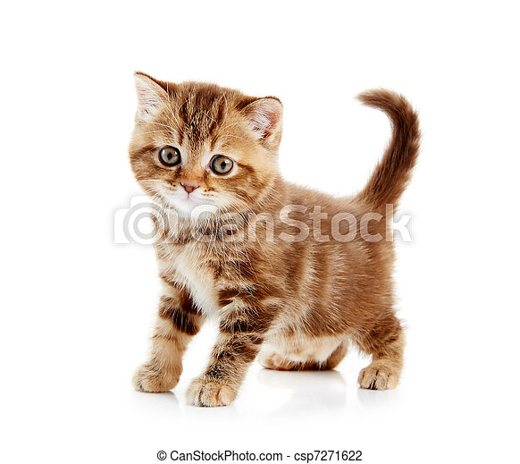 British Shorthair kitten cat isolated - csp7271622