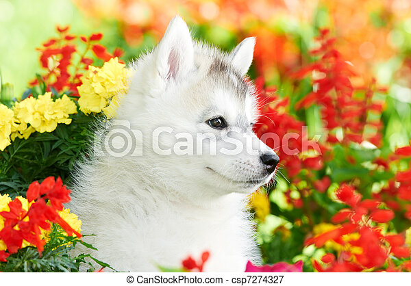 one Siberian husky puppy in flowers - csp7274327