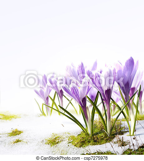 Art crocus flowers in the snow Thaw - csp7275978