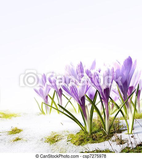 Art crocus flowers in the snow Thaw - csp7275978