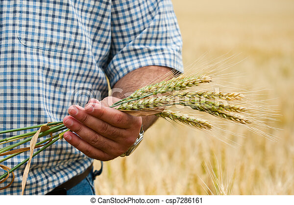 Farmer with wheat in hands. - csp7286161