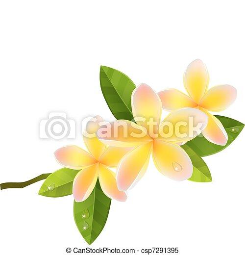 Frangiapani pink flowers isolated on white background - csp7291395