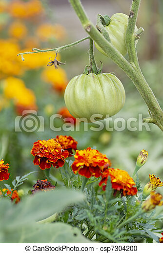 Tomatoes and Marigolds (companion planting) - csp7304200