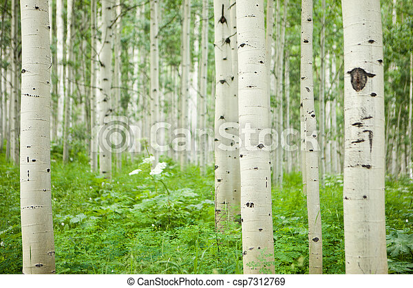 Forest of tall white aspen trees - csp7312769