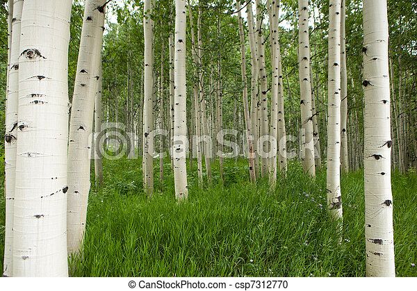 Forest of tall white aspen trees in Aspen - csp7312770