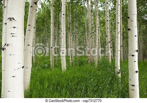 Forest of tall white aspen trees in Aspen - csp7312770
