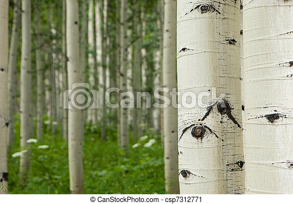 Forest of tall white aspen trees - csp7312771