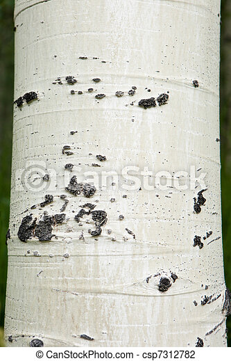 Forest of tall white aspen trees - csp7312782