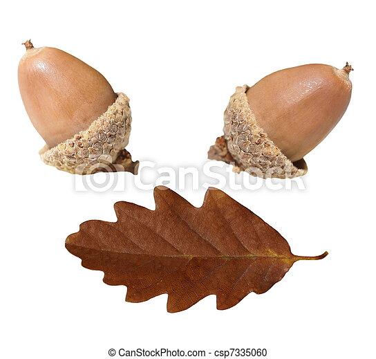 dębczak liść, odizolowany, żołądź - csp7335060