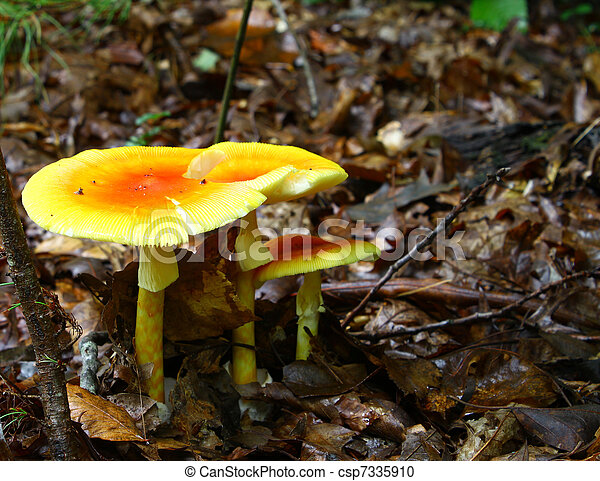 A newly emerged and growing trio of full grown Amanita Jacksonii edible mushrooms among the leafy ground cover in the woods covered with an early morning rain with room for your text. - csp7335910