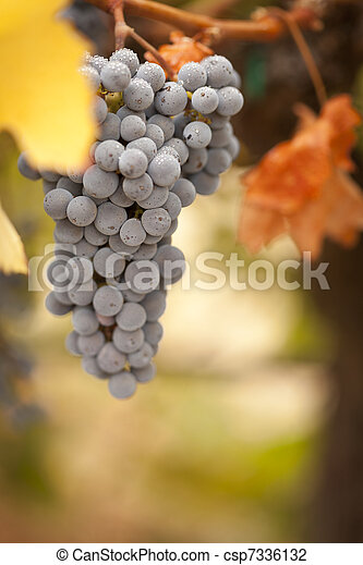 Beautiful Lush Grape Vineyard in The Morning Sun and Mist - csp7336132