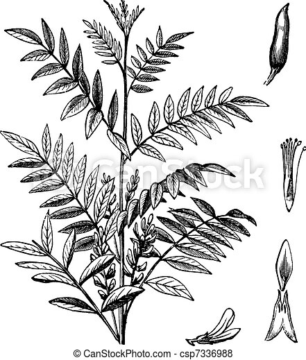 Liquorice or Glycyrrhiza glabra vintage engraving - csp7336988