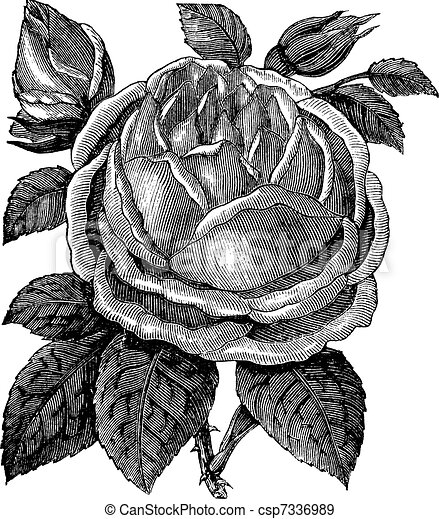 Rose Hazelnut or Rosa noisettiana vintage engraving - csp7336989