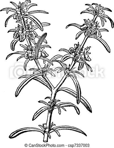 Rosemary or Rosmarinus officinalis vintage engraving - csp7337003