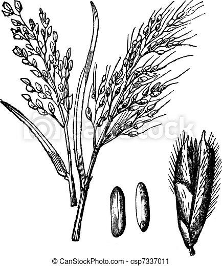Asian Rice or Oryza sativa vintage engraving - csp7337011