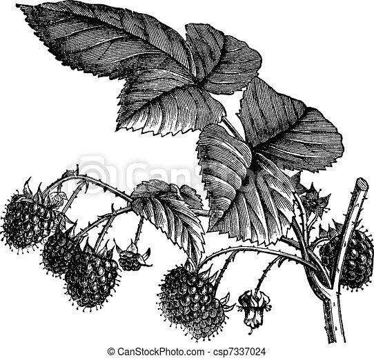 Red Raspberry or Rubus idaeus vintage engraving - csp7337024