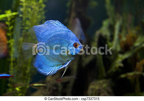 Blue Diamond Discus Fish - csp7337315