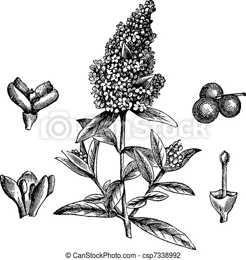 Wild Privet or Ligustrum vulgare, vintage engraving - csp7338992